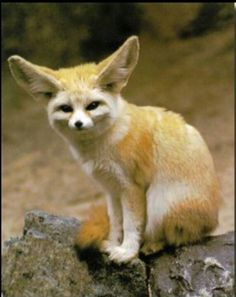 fenec fox in the desert Zorro Fennec, Fennec Fox, Nocturnal Animals, Beautiful Creatures, Animals Beautiful, Wild Animals Photos, African Wild Dog, Foxes Photography, Animal Facts
