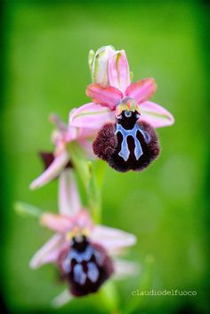 Wild Orchid (Ophrys sipontensis)