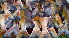 Caudas de Tambaqui Photo by Maria Mendonça -- National Geographic Your Shot