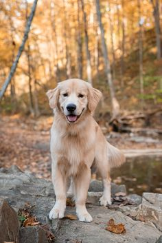This is Hank the Golden Retriever. What beautiful lifestyle dog photography! Dog Litter Box, Old Golden Retriever, Happy Photos, Dog Shedding, Retriever Puppy, Pet Collars, Animal Photography, Puppy Love, Pittsburgh