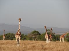 Giraffes at Ol Pejeta Conservancy in Kenya.