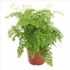 Capillaire : plante Ø18cm, pot