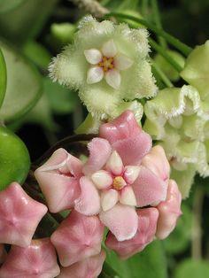 Hoya serpens (top) and Hoya carnosa compacta (bottom)