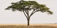 Bäume Scientists Have Found There Are But Three Trillion Trees Left on Earth Acacia, Watercolor Landscape, Landscape Paintings, Bonsai, Kimba The White Lion, History Of Welding, Jungle Decorations, African Tree, Unique Trees