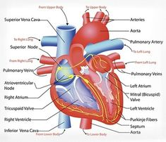 Anatomy of the heart heartfacts heart physiologyanatomy biology cardiovascular system anatomy diagram heart circulationparts ccuart Gallery