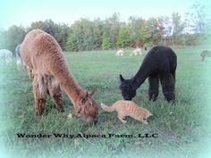 Guest Blogger Week 20  Wonder Why Alpaca Farm