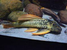 Hypostomus luteus - Golden Sailfin Pleco