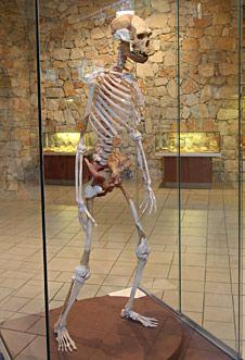 Squelette de l'Homme de Tautavel