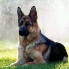 Always wanted one and when I get older im gonna get a German Sheperd :)