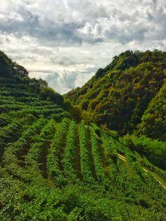 Lungo la Docg Conegliano-Valdobbiadene tra colline ripide e primi giorni di vendemmia eroica. Qui il Prosecco diventa Superiore.