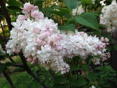 Syringa vulgaris 'Beauty of Moscow' - doftande dubbelblommande bondsyrén med rosalila knoppar som blir ett maffigt vitt tätt fluff som utslagna. 3-5 m hög, 4-5 m bred, zon 6