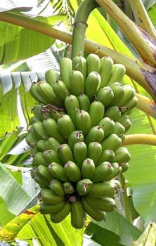 Popoulu Bananas are indigenious to the Pacific region. They differ from other common bananas for their shorter and fatter fruits