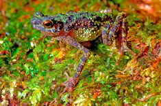 Lost Rainbow Toad: Herpetologists at Conservation International have rediscovered the exotic Sambas stream toad (aka Borneo rainbow toad, aka Ansonia latidisca) after 87 years of evasion, and released the first ever photographs of the brightly colored amphibian.