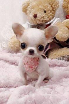 Chien miniature Chihuahua blanc