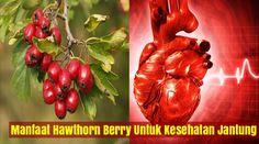 Hawthorn (Crataegus oxycanthus) telah lama dianggap sebagai ramuan pilihan untuk memperkuat dan melindungi sistem kardiovaskular, terutama jantung. Pada akhir 1800-an dokter Eropa mulai bereksperimen dengan itu secara klinis untuk penyakit jantung dan gangguan kardiovaskular lainnya, dan sejak itu reputasinya telah berkembang.  http://www.jellygamatgoldgasli.web.id/2016/05/manfaat-hawthorn-berry-untuk-kesehatan.html