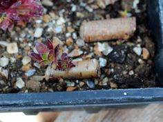 Propagating Aeonium with What You Sow