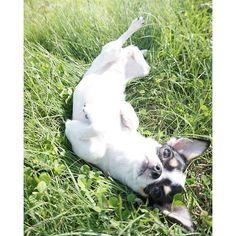 . Kuu I don't wanna go home !!!!! . ドッグランが楽しくて 帰りたくなくて いざ帰ったら爆睡(笑) . . #チワワ#チワワ部 #今日のわんこ #スムチー#ロンチー#多頭飼い #牛柄チワワ #犬#犬のいる暮らし #愛犬#犬バカ部 #ふわもこ部 #ワンコなしでは生きて行けません会 #chihuahua#chihuahuasofinstagram #chihuahuaoftheday #chihuahuas #onlychihuahuas #dogphotography #dogstagram#dog_features #dogofinstagram #dogoftheday #happydog #igersjp #wooftoday #west_dog_japan #weeklyfluff