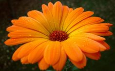 Gerbera HD photography wallpaper 3 Wallpapers