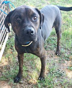Because of the High Intake Time is Limited - Please volunteer and foster with your local reputable rescues and humane societies.  Help Save More Lives - Clayton County Animal Control  #152484 Pit Mix Adult Male Intake 7-29-15 Available 8-1-15  Email: rescue.coordinator@co.clayton.ga.us Located at 1396 Government Circle, Jonesboro, GA 30236 Our phone number is 770-477-3509 our FAX is 770-603-4199