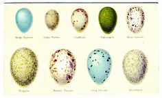 Animal Bird Eggs 2