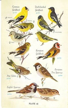 1946 Audubon Eastern Birds Book Color Plate Great Colorful Graphics 7.25 x 4.5 Plate 42