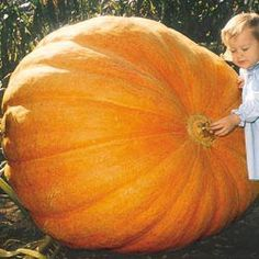 Heirloom Vegetables - Dill's Atlantic Giant Pumpkin