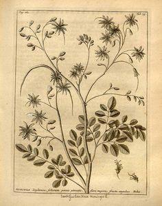 Moringa,  Moringa oleifera Lam. [as Guilandina moringa L.]    Burman (1737)