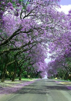 Beautiful Jacaranda- I didn't notice them until my second year in Brisbane.