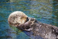 Snoozing sea otter - June 23, 2012