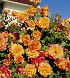 R Sahara kw (per stuk) Black Baccara, Austin Rosen, Rose Queen, Rosa Rose, Floral Wreath, Wreaths, Orange, Flowers, Plants