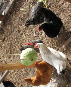 How to Make a DIY Hanging Cabbage to Keep Your Chickens Entertained Urban Chickens, Free Chickens, Raising Chickens, Chicken Coop On Wheels, Diy Chicken Coop, Farms Living, Free Range, Diy Hanging, City Girl