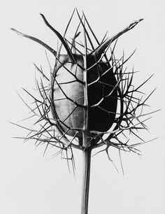 Nigella Damascena Spinnenkopf by Karl Blossfeldt, circa 1932.
