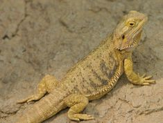 Bearded dragons have been growing in popularity as pets.