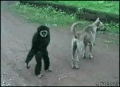 :))) GİF..  This rude monkey that won't stop harassing this dog: | 20 Animals That Are Huge Jerks