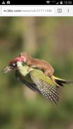 A weasel riding a woodpecker. Now ive seen everything!