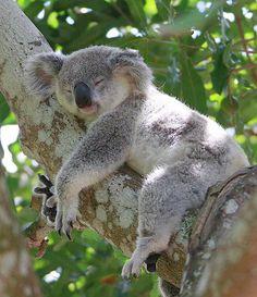 Koala | KOALA