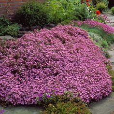 Redviolet upholstery thyme - food and drink Pathways, Upholstery, Sidewalk, Flowers, Plants, Beautiful, Red Carpet, Gardening, Elsa