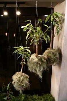 Arranjo suspenso suporta todo tipo de planta, até uma miniatura de mangueira Kokedama pode ser feito por você mesmo e ainda traz um colorido para casa