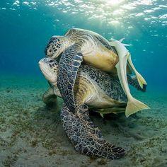 Sea Turtle embrace