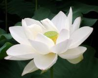 Lotus Flowers Gallery (189 Photos)