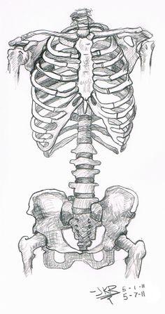 Anatomy Study: Skeleton Torso by JKRiki on DeviantArt Skeleton Drawings, Skeleton Art, Pencil Art Drawings, Cool Art Drawings, Art Drawings Sketches, Simple Skeleton Drawing, Skeleton Anatomy, Skeleton Figure, Indie Drawings