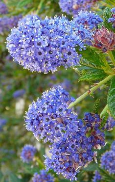 Ceanothus Concha, California Mountain Lilac  Concha grows about 4 ft tall and has very dark blue flowers, tolerates alkali soil and drought conditions and will grow in most populated areas of California.