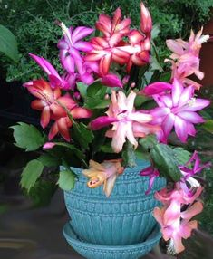 Trio of Christmas Cactus (Schlumbergera hybrids) includes Christmas Flame, Cristen, and Dark Marie planted together
