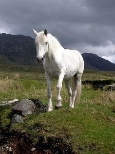 fusible: White Connemara pony 1 (by hehaden (away for a week)) All The Pretty Horses, Beautiful Horses, Animals Beautiful, Cute Animals, Clydesdale, Arte Equina, Connemara Pony, Majestic Horse, White Horses