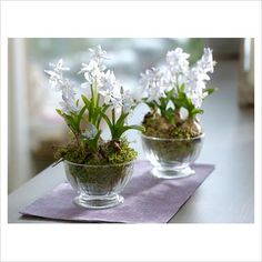 puschkinia scilloides planted in glass bowls...