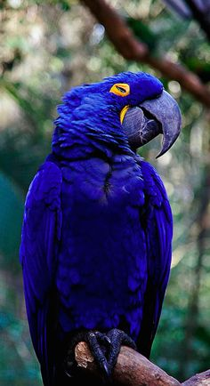 Beautiful hyacinth macaw at Parque das Aves in Parana, Brazil • photo: annette.beatriz on Flickr