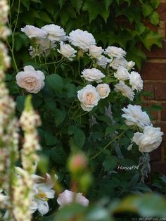 'Sebastian Kneipp ' Rose Photo