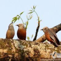 Chestnut-tailed Starlings by Markus Lilje