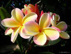 Sunlit Plumeria #flower #hawaii