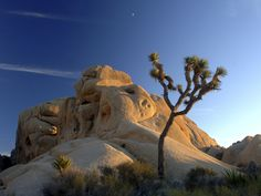 Picture of Joshua tree and rock formation, Joshua Tree National Park